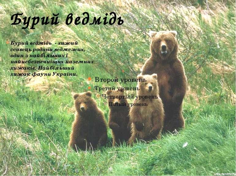 Бурий ведмідь Бурий ведмідь - хижий ссавець родини ведмежих, один з найбільши...