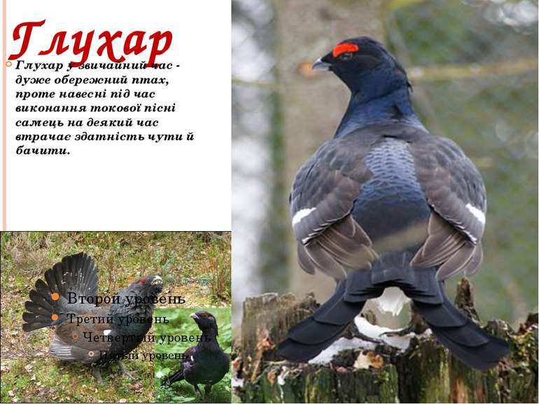 Глухар Глухар у звичайний час - дуже обережний птах, проте навесні під час ви...