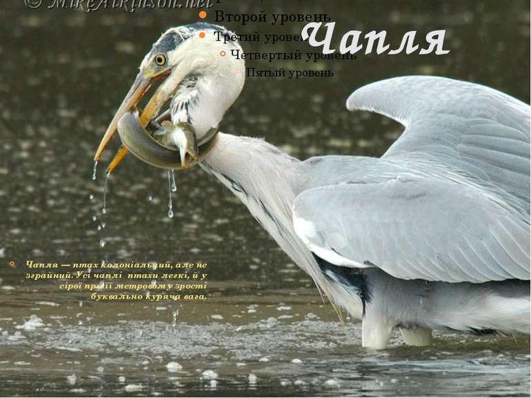 Чапля Чапля — птах колоніальний, але не зграйний. Усі чаплі птахи легкі, й у ...