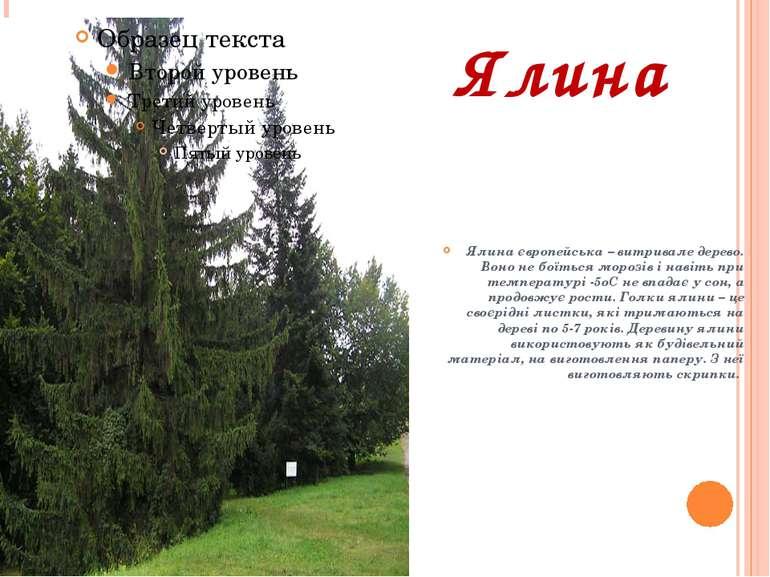 Ялина Ялина європейська – витривале дерево. Воно не боїться морозів і навіть ...