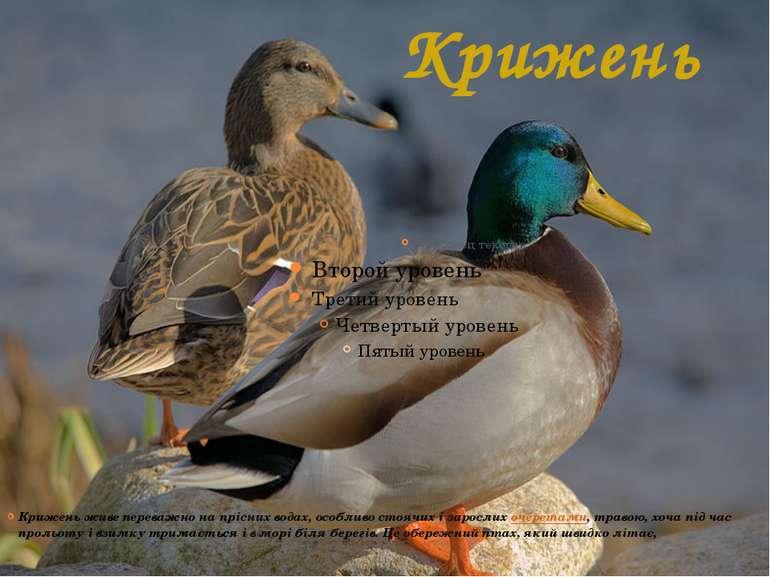 Крижень Крижень живе переважно на прісних водах, особливо стоячих і зарослих ...
