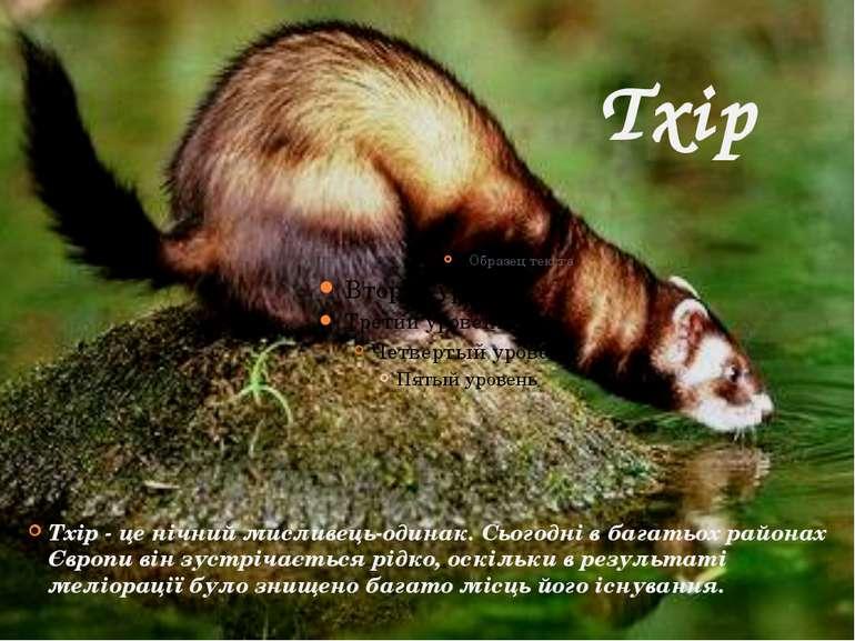 Тхір Тхір - це нічний мисливець-одинак. Сьогодні в багатьох районах Європи ві...