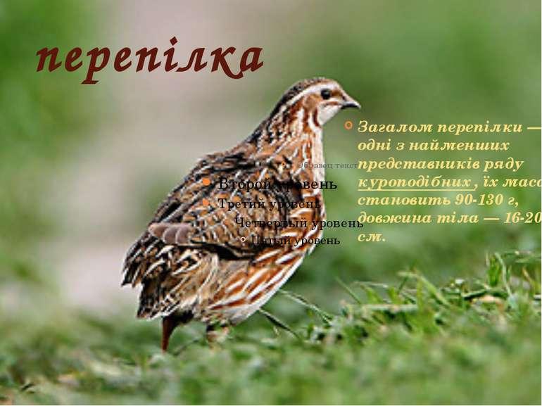 перепілка Загалом перепілки— одні з найменших представників ряду куроподібни...