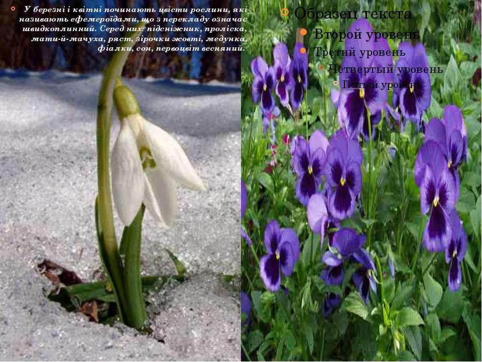 У березні і квітні починають цвісти рослини, які називають ефемероїдами, що з...