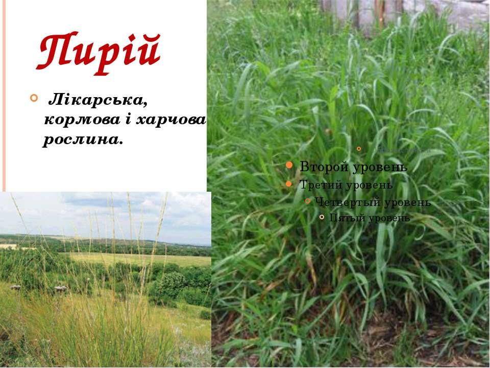 Пирій Лікарська, кормова і харчова рослина.