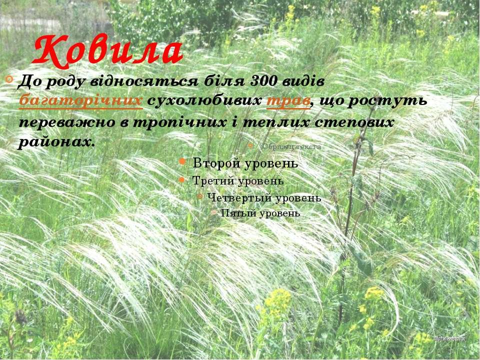 Ковила До роду відносяться біля 300 видів багаторічних сухолюбивих трав, що р...