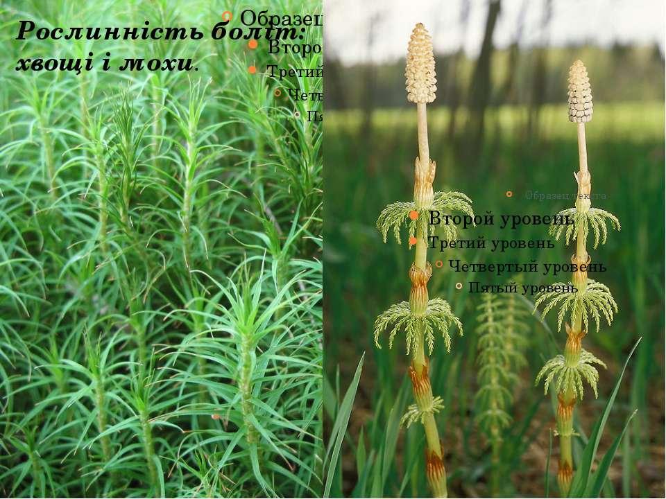 Рослинність боліт: хвощі і мохи.