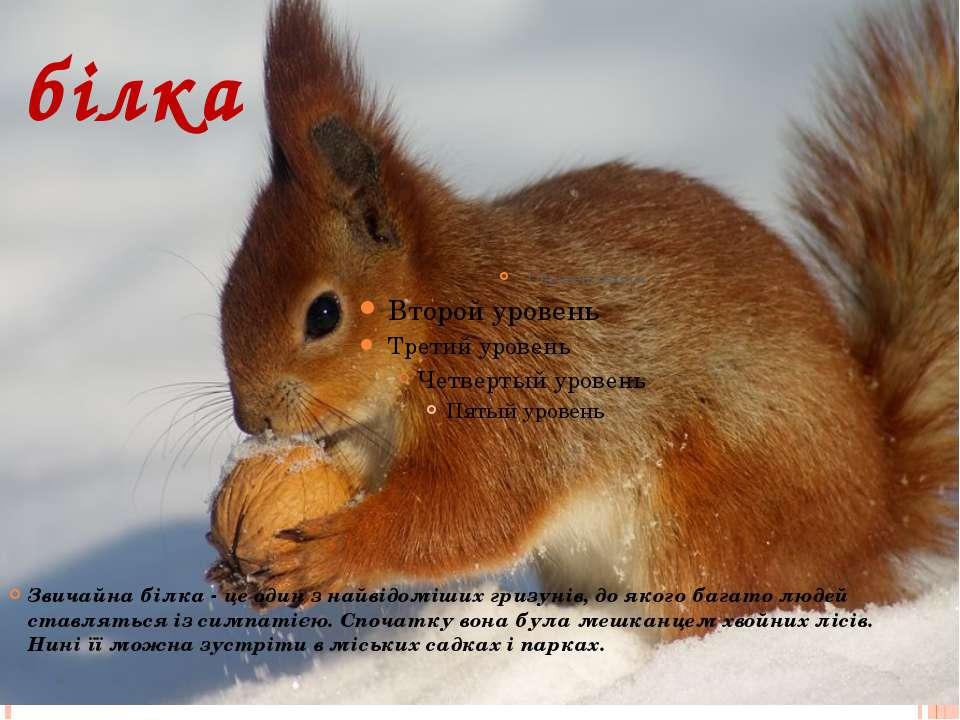 білка Звичайна білка - це один з найвідоміших гризунів, до якого багато людей...