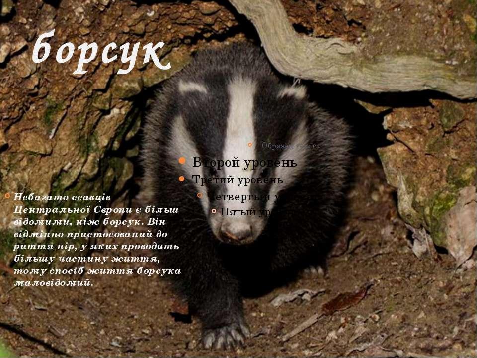 борсук Небагато ссавців Центральної Європи є більш відомими, ніж борсук. Він ...