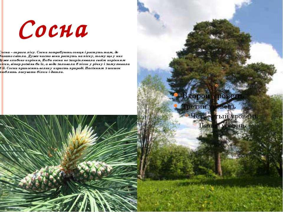 Сосна Сосна – окраса лісу. Сосни потребують сонця і ростуть там, де багато св...