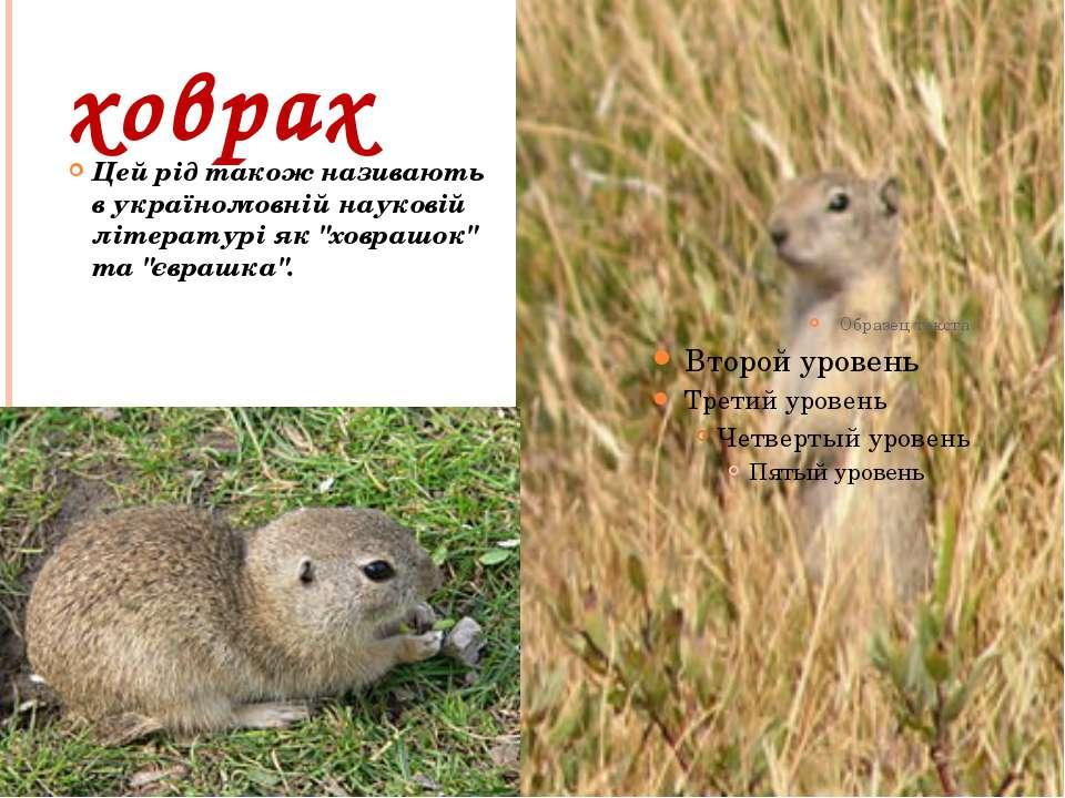 """ховрах Цей рід також називають в україномовній науковій літературі як """"ховраш..."""