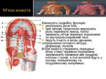 Виконують подвійну функцію: реалізують рухи тіла, при своєму скороченні викон...