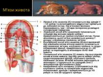 Прямий м'яз живота (5) починається від хрящів V—VII ребер та мечоподібного ві...