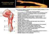 М'язи верхніх кінцівок поділяють на м'язи пояса верхніх кінцівок та м'язи віл...