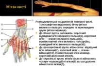 Розташовуються на долонній поверхні кисті. Топографічно виділяють бічну (м'яз...