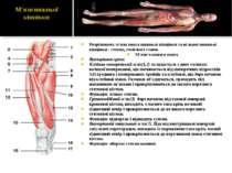 Розрізняють м'язи пояса нижньої кінцівки та вільної нижньої кінцівки - стегна...