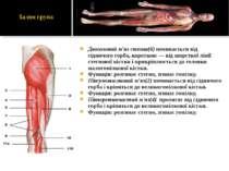 Двоголовий м'яз стегна(6) починається від сідничого горба, короткою — від шор...