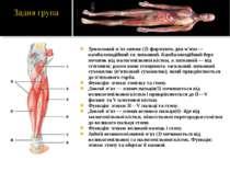 Триголовий м'яз литки (2)-формують два м'язи — камбалоподібний та литковий. К...