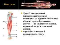 Довгий та короткий малогомілкові м'язи (4) починаються від малогомілкової кіс...