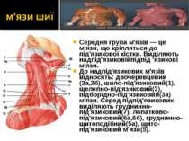 Середня група м'язів — це м'язи, що кріпляться до під'язикової кістки. Виділя...