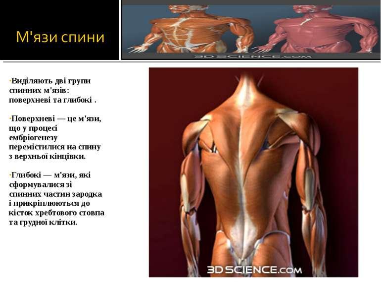 Виділяють дві групи спинних м'язів: поверхневі та глибокі . Поверхневі — це м...
