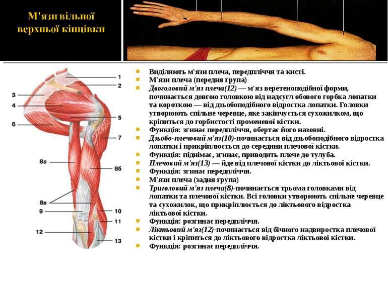 Виділяють м'язи плеча, передпліччя та кисті. М'язи плеча (передня група) Двог...