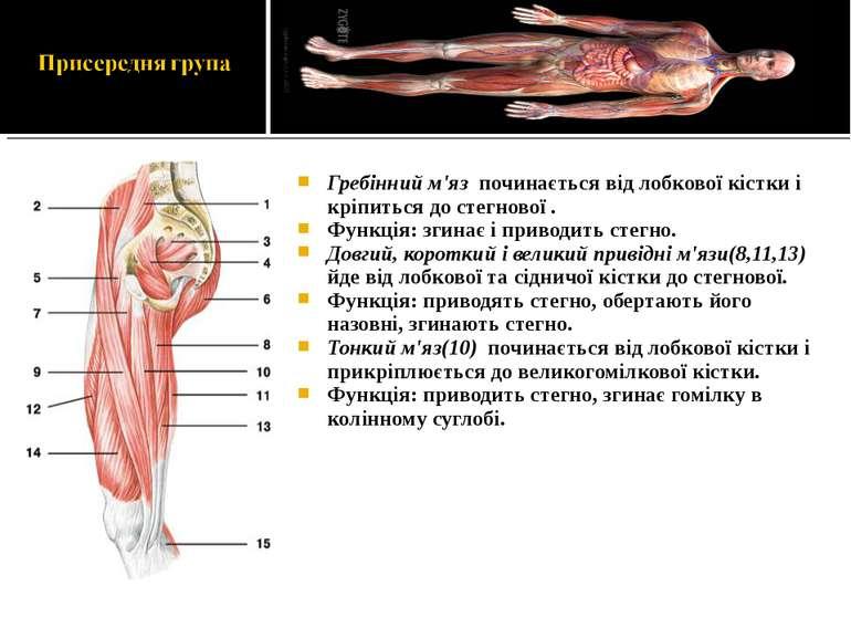 Гребінний м'яз починається від лобкової кістки і кріпиться до стегнової . Фун...