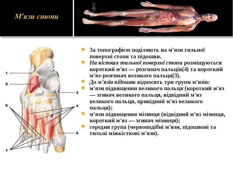 За топографією поділяють на м'язи тильної поверхні стопи та підошви. На кістк...