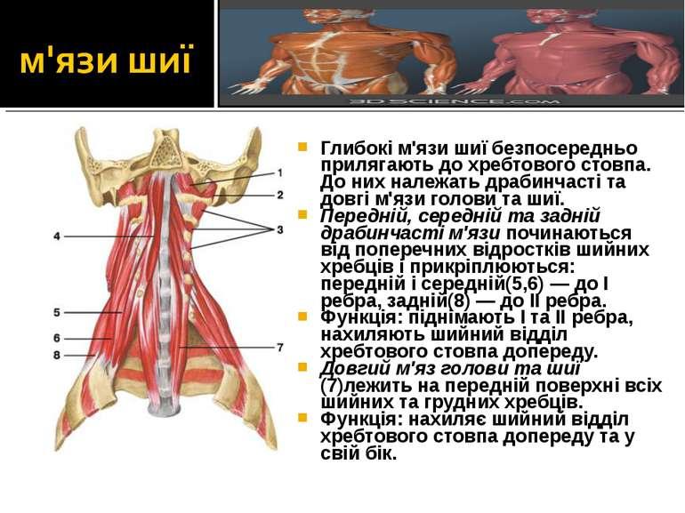Глибокі м'язи шиї безпосередньо прилягають до хребтового стовпа. До них належ...