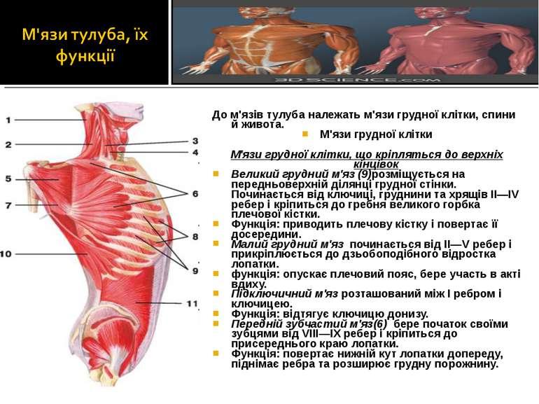 До м'язів тулуба належать м'язи грудної клітки, спини й живота. М'язи грудної...