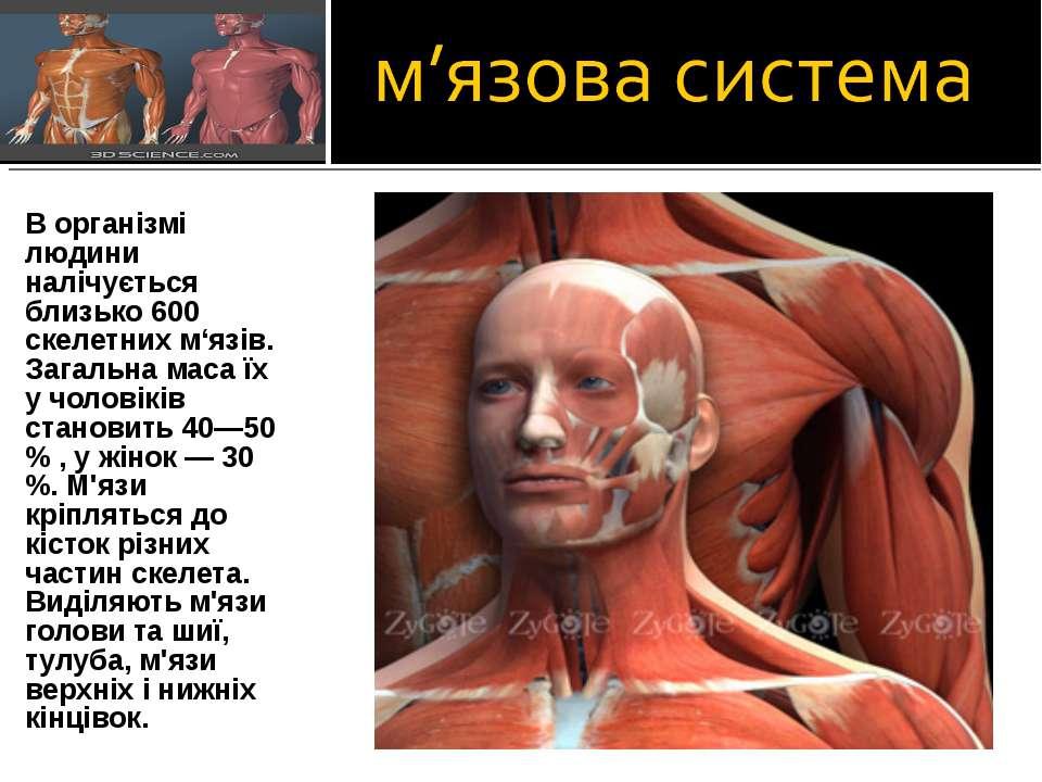 В організмі людини налічується близько 600 скелетних м'язів. Загальна маса їх...