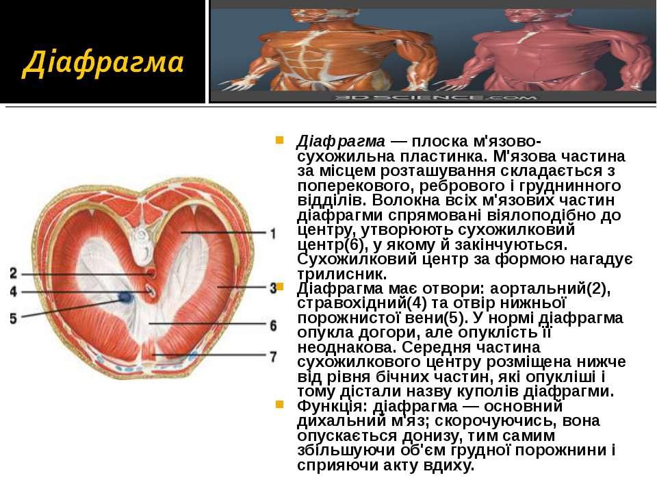 Діафрагма — плоска м'язово-сухожильна пластинка. М'язова частина за місцем ро...