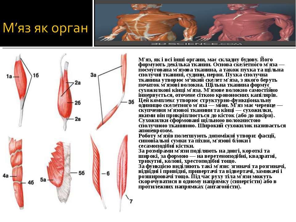 М'яз, як і всі інші органи, має складну будову. Його формують декілька тканин...