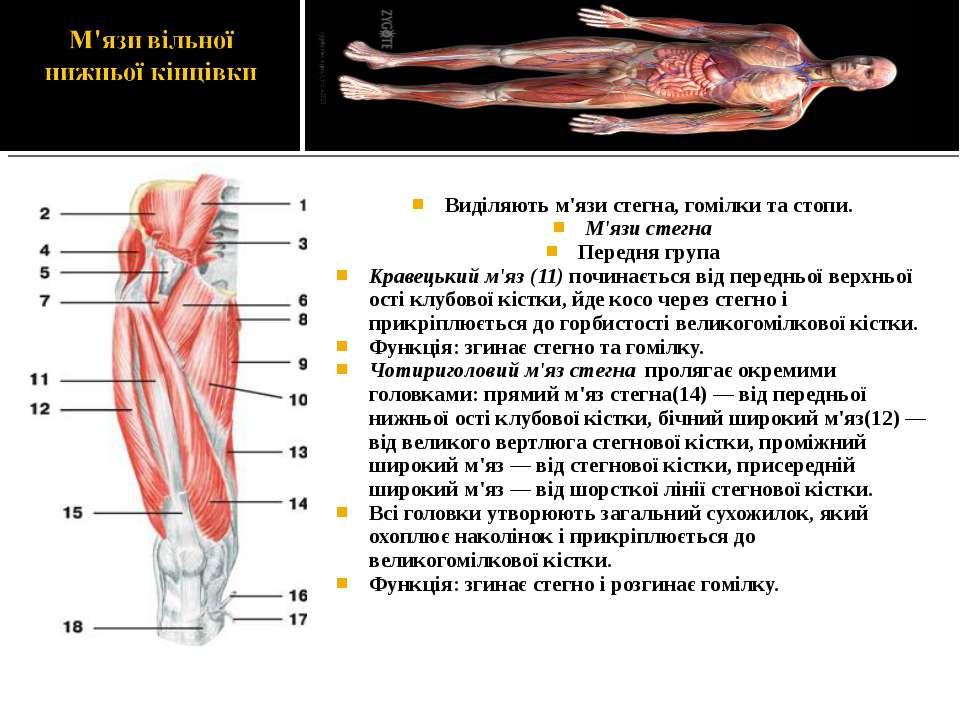 Виділяють м'язи стегна, гомілки та стопи. М'язи стегна Передня група Кравецьк...