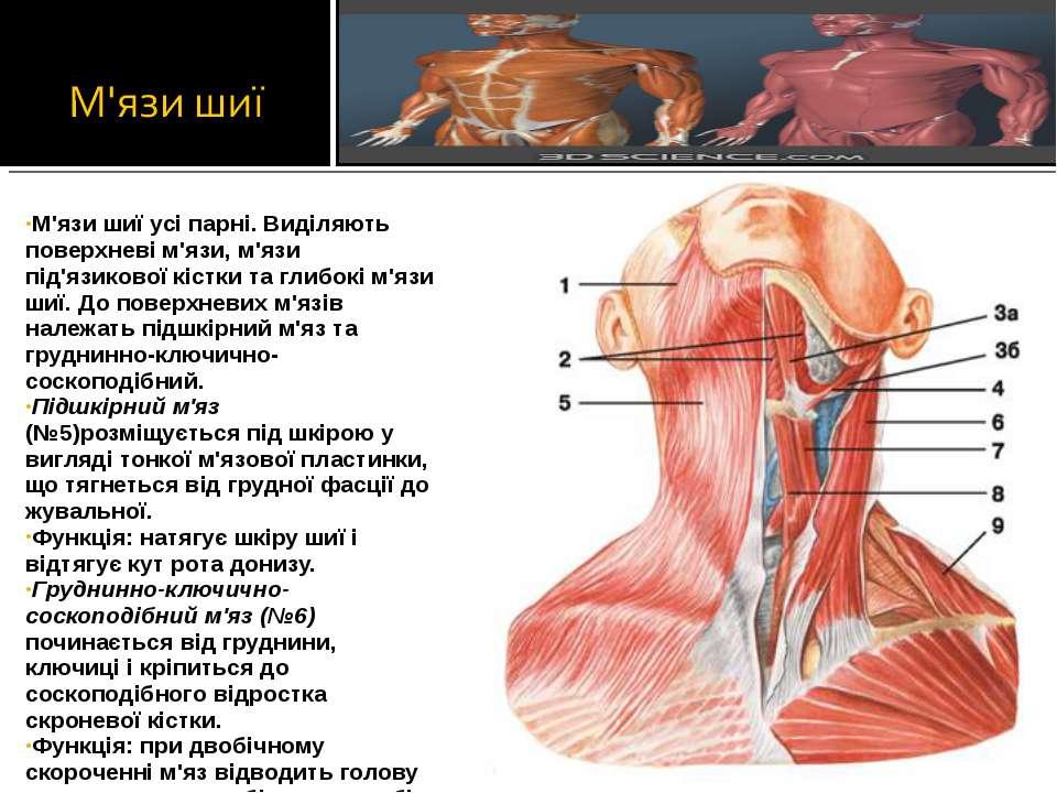 М'язи шиї усі парні. Виділяють поверхневі м'язи, м'язи під'язикової кістки та...