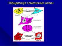 Гібридизація соматичних клітин
