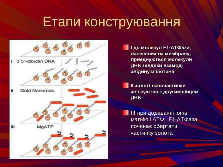 Етапи конструювання I до молекул F1-АТФази, нанесених на мембрану, приеднують...