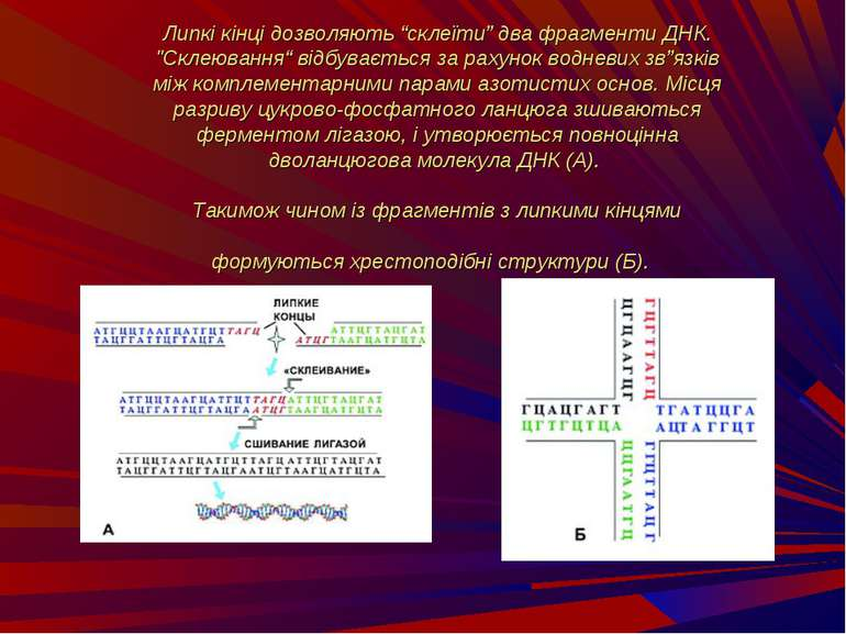 """Липкі кінці дозволяють """"склеїти"""" два фрагменти ДНК. """"Склеювання"""" відбувається..."""