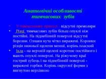 Анатомічні особливості тимчасових зубів У тимчасовому прикусі - відсутні прем...
