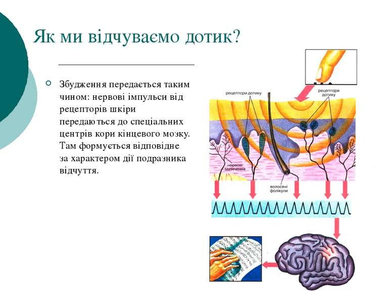 Як ми відчуваємо дотик? Збудження передається таким чином: нервові імпульси в...