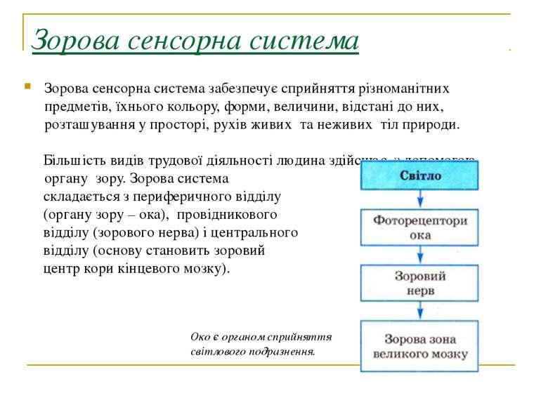 Зорова сенсорна система Зорова сенсорна система забезпечує сприйняття різнома...