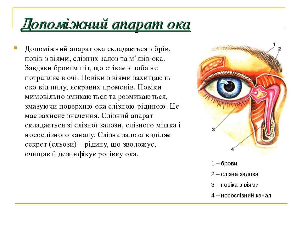Допоміжний апарат ока Допоміжний апарат ока складається з брів, повік з віями...