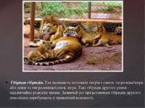 Гібриди гібридів. Так називають потомків тигрів і самок тигролева/лігра або л...
