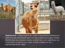 Верблюлама – гібрид верблюда і лами. Схрещування відбувається через штучне за...