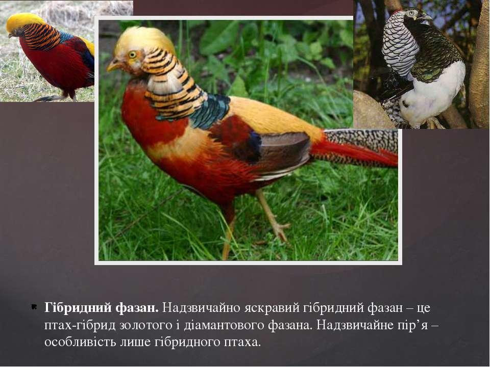 Гібридний фазан. Надзвичайно яскравий гібридний фазан – це птах-гібрид золото...