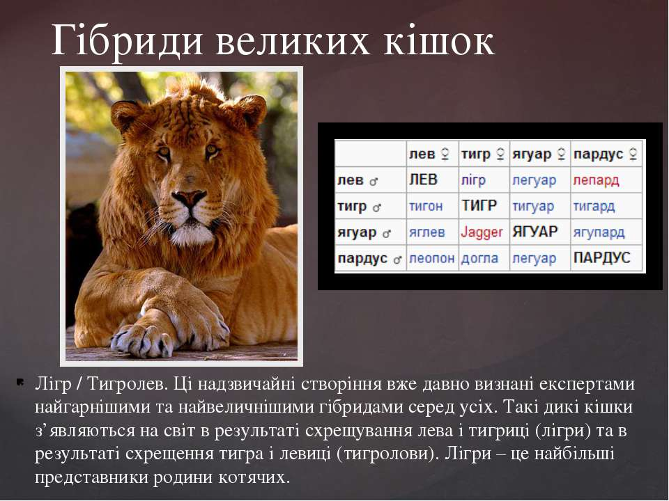 Лігр / Тигролев. Ці надзвичайні створіння вже давно визнані експертами найгар...