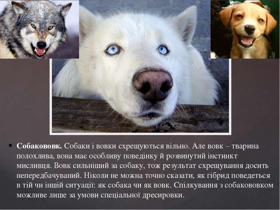 Собакововк. Собаки і вовки схрещуються вільно. Але вовк – тварина полохлива, ...