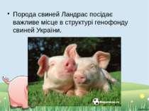 Порода свиней Ландрас посідає важливе місце в структурі генофонду свиней Укра...