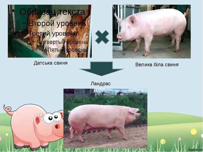 Датська свиня Велика біла свиня Ландрас