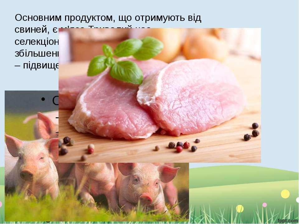 Основним продуктом, що отримують від свиней, є м'ясо.Тривалий час селекціонер...